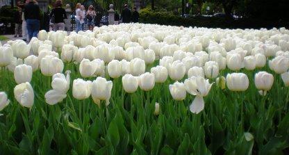 white tulip garden